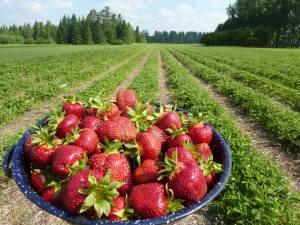 Finke's Strawberry fields