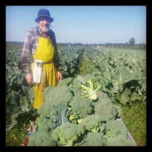 Farmer John Harvesting Broccoli